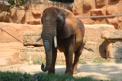 The elephant is one of many savannah animals, along with lions and giraffes, that can be seen at the zoo.